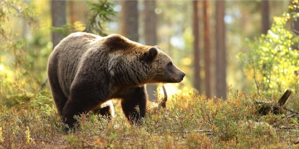 brown-bear-grizzly