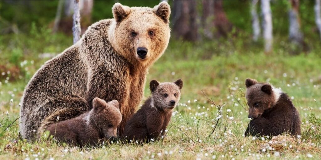momma brown bear and cubs