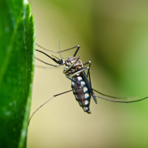 mosquito in forest